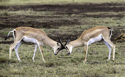 Grant Gazelles Locking Horns Tanzania Arkivfoto