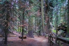 Grant Loop Trail, Mammutbaum-Park Stockbilder