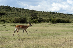 Grant's gazelle in Africa. Afrikanskfy Grant's gazelle in their natural habitat. Kenya Stock Photography