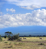 Grant's gazelle. In the African savannah on background of Mount Kilimanjaro Stock Photo