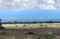 Grant's gazelle. In the African savannah on background of Mount Kilimanjaro Stock Photography