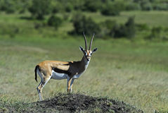 Grant's gazelle Royalty Free Stock Image