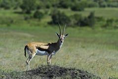 Grant's gazelle. In the African savannah Masai Mara Royalty Free Stock Image