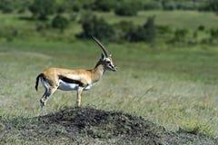 Grant's gazelle. In the African savannah Masai Mara Stock Image