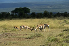 Grant's gazelle Royalty Free Stock Photography