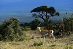 Grant's gazelle. In the African savannah in their natural habitat Stock Images