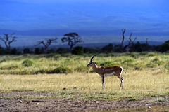 Grant's gazelle. In the African savannah in their natural habitat Royalty Free Stock Photography