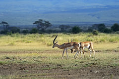 Grant's gazelle. In the African savannah in their natural habitat Royalty Free Stock Images