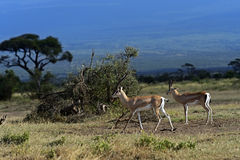 Grant's gazelle. In the African savannah in their natural habitat Royalty Free Stock Photos