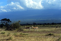 Grant's gazelle. In the African savannah in their natural habitat Royalty Free Stock Image
