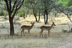 Grant's gazelle. In the African savannah in the wild Royalty Free Stock Images