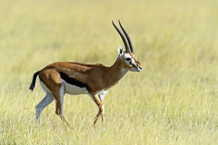 Grant's gazelle. In the African savannah in the wild Royalty Free Stock Image