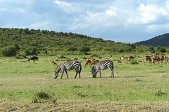 Grant's gazelle. Afrikanskfy Grant's gazelle in their natural habitat. Kenya Royalty Free Stock Photo