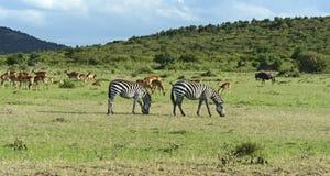 Grant's gazelle. Afrikanskfy Grant's gazelle in their natural habitat. Kenya Stock Photography