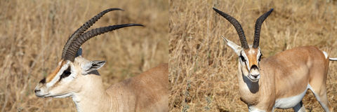 Grant's Gazelle (Gazella granti) Stock Photography