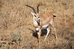 Grant's Gazelle (Gazella granti) Stock Photo