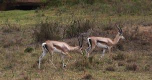 Grant-` s Gazelle, Gazella granti, Gruppe an Nairobi-Park in Kenia stock footage
