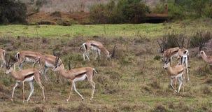Grant-` s Gazelle, Gazella granti, Gruppe an Nairobi-Park in Kenia, stock video footage