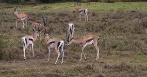 Grant-` s Gazelle, Gazella granti, kämpfende Männer, Nairobi-Park in Kenia, stock footage