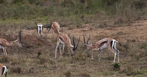 Grant-` s Gazelle, Gazella granti, kämpfende Männer, Nairobi-Park in Kenia, stock video footage