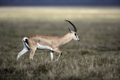 Grant's gazelle, Gazella granti Royalty Free Stock Photo