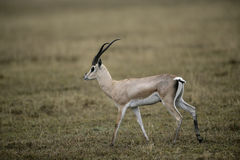 Grant's gazelle, Gazella granti Royalty Free Stock Image