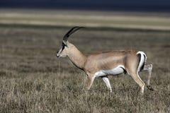 Grant's gazelle, Gazella granti Stock Images