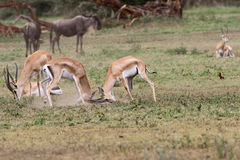 The Grant`s gazelle Royalty Free Stock Images