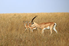The Grant`s gazelle Stock Images