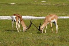 Grant's gazelle males grazing, Kenya. Long-horned male grant's gazelle, Lake Nakuru National Park, Kenya, East Africa Stock Photos