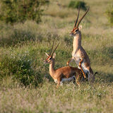 Grant's Gazelle mating Stock Images