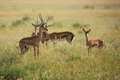 Grant`s Gazelle - Nanger granti. Small fast antelope from African savanna, Tsavo National Park, Kenya Royalty Free Stock Photo