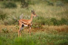 Grant`s Gazelle - Nanger granti. Small fast antelope from African savanna, Tsavo National Park, Kenya Stock Photos