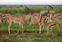 Grant`s Gazelle - Nanger granti. Small fast antelope from African savanna, Tsavo National Park, Kenya Royalty Free Stock Photos