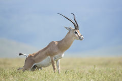 Grant's Gazelle, (Nanger granti) Tanzania. Grant's Gazelle, (Nanger granti) marking his territory in the Ngorongoro Crater, Tanzania Stock Photos