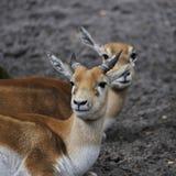 Grant's gazelle. Portrait of a Grant's Gazelle Stock Photo
