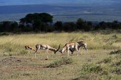 Grant's gazelle in the savannah. Grant's gazelle in the African savannah in their natural habitat Stock Photo