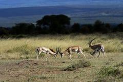 Grant's gazelle in the savannah. Grant's gazelle in the African savannah in their natural habitat Stock Photos