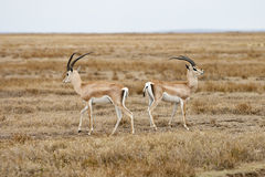 Grant's Gazelle. In the Serengeti national park. Tanzania, Africa Stock Image