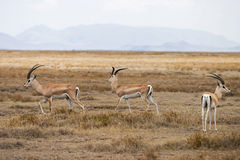 Grant's Gazelle. In the Serengeti national park. Tanzania, Africa Stock Images