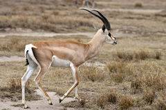 Grant's Gazelle. In the Serengeti national park. Tanzania, Africa Royalty Free Stock Photography