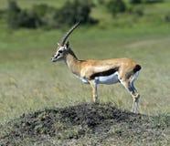 Grant's gazelle Stock Image