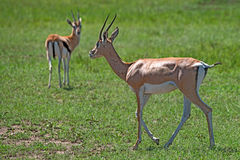 Grant's gazelle. Wild Grant's gazelle is grazing in national park Royalty Free Stock Photo