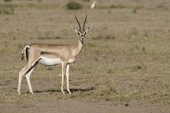 Grant-` s weibliche Stellung Gazelle in der sonnengetrockneten Savanne in Stockfotos