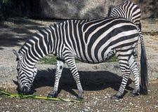 Grant ` s zebra 5 Fotografia Stock
