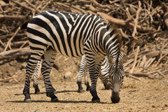 Grant's zebra royalty free stock images