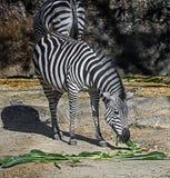 Grant-` s Zebra Lizenzfreie Stockfotos
