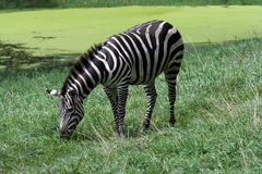 Grant's Zebra. Grazing by the water hole Royalty Free Stock Photography