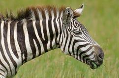 Grant's Zebra. Portrait of a Grant's zebra Royalty Free Stock Photography