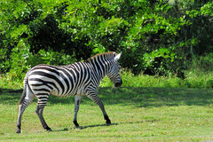 Grant's Zebra. Walking in a South Florida zoo Stock Photography